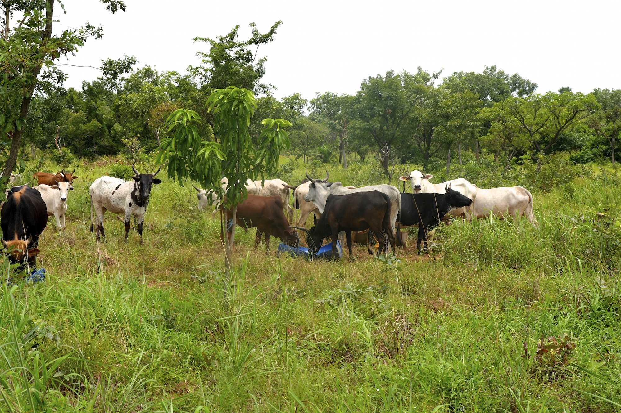 Cattle grazing beneath trees a few years after reforestation