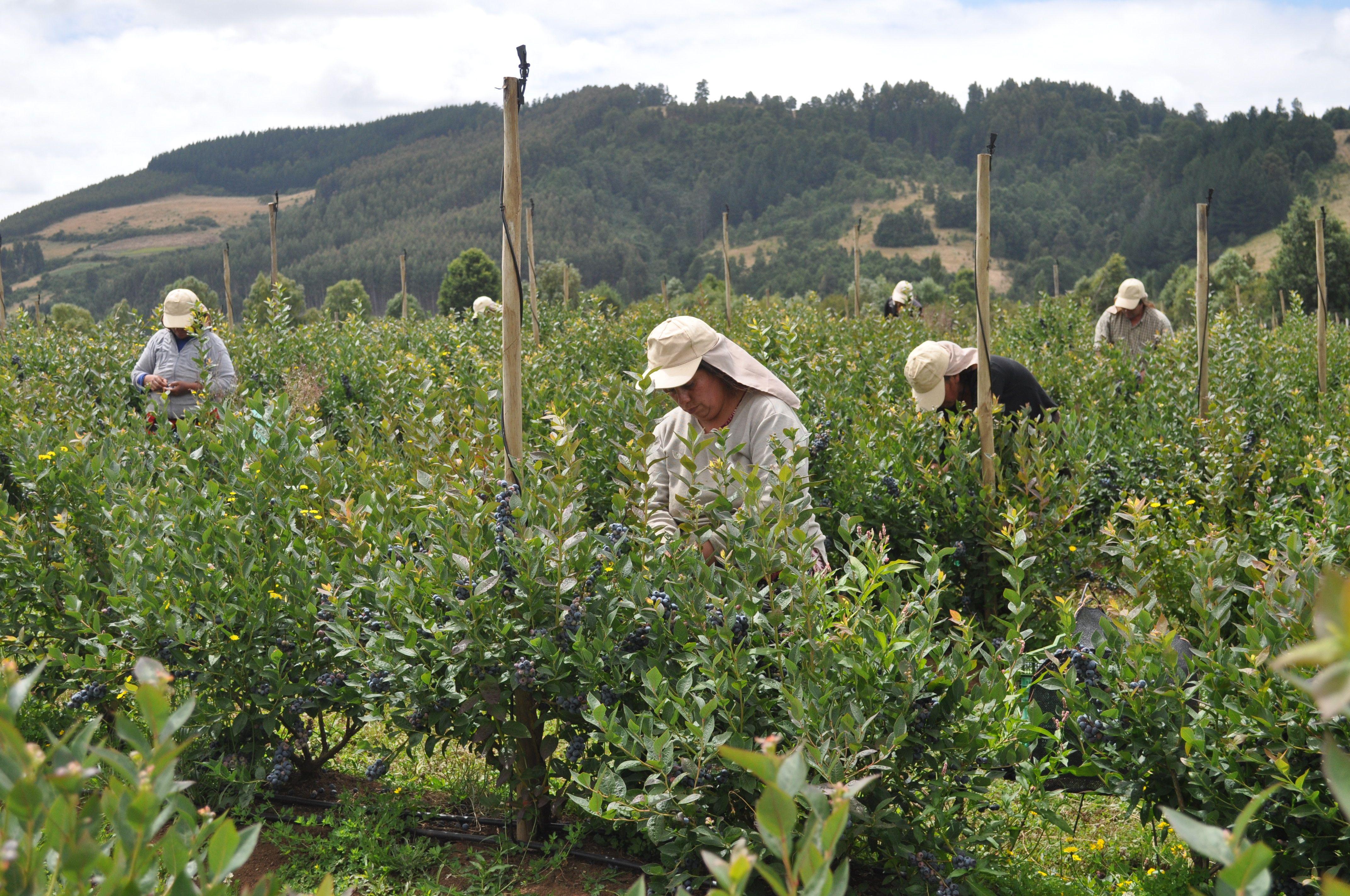Shared Interest blueberry harvesting Chile