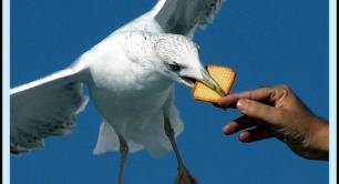 A seagull swoops to eat a biscuit