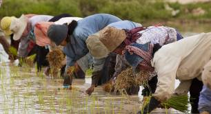 Farmers plant rice in Cambodia