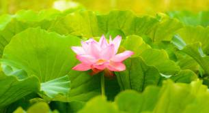 Lotus flower_nature