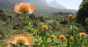 Pincushion at Kirstenbosch Botanical Gardens, South Africa