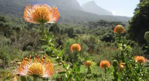 Pincushion at Kirstenbosch Botanical Gardens, South Africa