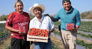 Danone strawberry farmers